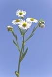 wild chamomile Royaltyfri Fotografi