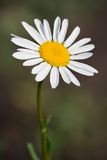 Wild chamomile Stock Images