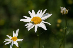 Wild chamomile with a beetle Royalty Free Stock Photos