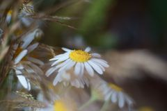 Wild chamomile bloom with blurred pastel colors background royalty free stock images