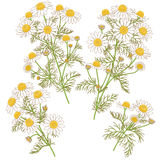Wild Chamomile Bunches Set. Stock Photos