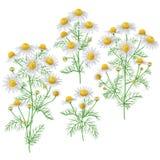Wild chamomile bunches set. Stock Photos