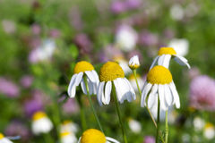 Wild chamomile close up Stock Image