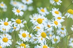 Wild chamomile in the field. Chamomile plant Matricaria Chamomilla. Agriculture royalty free stock photography