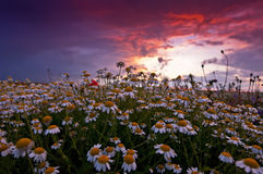 Wild chamomile field and red sunset. Wild chamomile Matricaria chamomilla field and dramatic red sunset Royalty Free Stock Photo