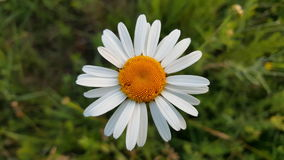 Wild chamomile flower. A beautiful wild chamomile flower Stock Images
