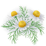 Wild chamomile flowers. Stock Photos