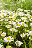 Wild chamomile Royalty Free Stock Photography
