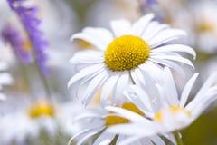 Wild chamomile flowers on field Stock Photos