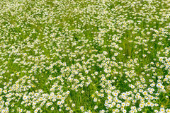 Wild chamomile flowers on field. Background Stock Images