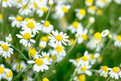 Wild chamomile flowers on a field. Stock Photography