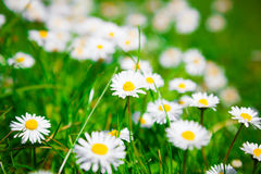 Wild chamomile flowers Royalty Free Stock Image