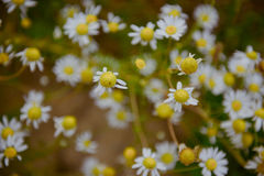 Wild chamomile flowers on a field on a sunny day. Stock Photography