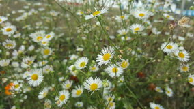 Wild chamomile flowers in nature. Beautiful wild chamomile flowers in nature Royalty Free Stock Image