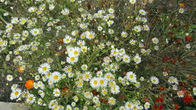 Wild chamomile flowers in nature. Beautiful wild chamomile flowers in nature Stock Photo