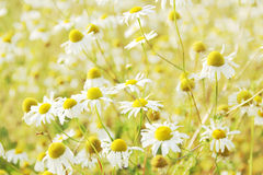 Wild chamomile flowers outdoors Stock Photography