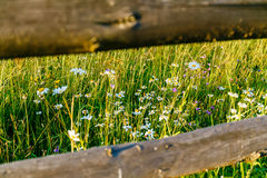 Wild chamomile flowers through a wooden fence on a sunny day Stock Images