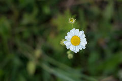 Wild chamomile on fresh green grass bokeh background. Wild chamomile on fresh green grass bokeh background in summer closeup Royalty Free Stock Images