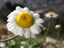 Wild Chamomile  Growing In a Meadow Royalty Free Stock Photo