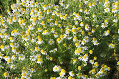 The wild chamomile Stock Photography