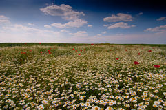 Wild chamomile Matricaria chamomilla field. And blue sky with clouds Royalty Free Stock Photography