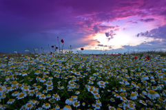 Wild chamomile Matricaria chamomilla field. And purple sunset Stock Images