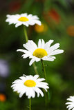 Wild chamomile. On a meadow Stock Photos