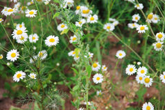 Wild chamomile on a meadow Stock Images