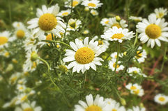 Wild chamomile on a meadow Royalty Free Stock Images