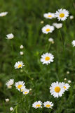Wild chamomile  in the nature. Wild chamomile in the nature Stock Image