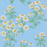 Wild Chamomile Pattern on Blue. Stock Images