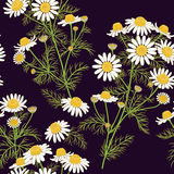 Wild Chamomile Pattern. Royalty Free Stock Photo