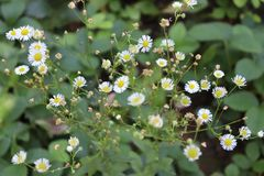 Wild chamomile plant in an eco-friendly garden royalty free stock images