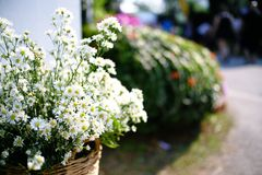 Wild chamomile. White Daisy flowers. Selective focus. Wild chamomile. White Daisy flowers. Selective focus royalty free stock photo