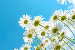 Wild chamomiles on a blue sky background. Vivid Royalty Free Stock Image