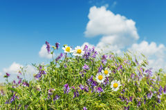 Wild chamomiles flower in green grass and blue sky with clouds Stock Photo