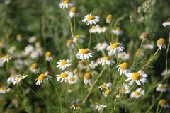 Wild chamomiles in a meadow Stock Photo