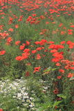 Wild Chamomiles and Red Poppies Stock Image