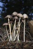 wild champinjon Arkivbild