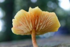 Wild champinjon Royaltyfri Fotografi