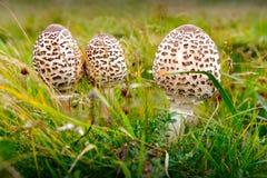 Wild champinjoner Royaltyfria Foton