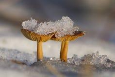 Wild champinjoner i vinter Arkivbild
