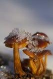 Plocka svamp i vinter Arkivbild