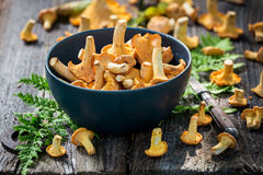 Wild chanterelle mushrooms full of flavour and aromatic. Closeup of wild chanterelle mushrooms full of flavour and aromatic Royalty Free Stock Photography