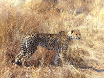 Wild cheetah Stock Images