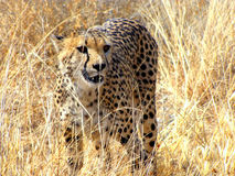 Wild cheetah Royalty Free Stock Photography