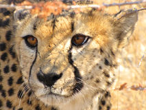 Wild cheetah Stock Image