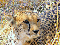 Wild cheetah Stock Photos