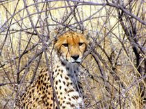 Wild cheetah Stock Photo