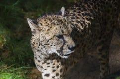 Wild Cheetah Arkivfoto